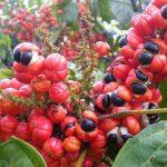 Focus sur le guarana